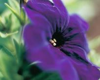 Petunia Multiflora Mirage F:1 Blå