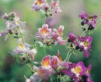Schizanthus Fattigmandsorkid