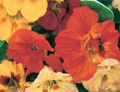 Nasturtium, Tropaeolum, Blomsterkarse, slyng. stor pose