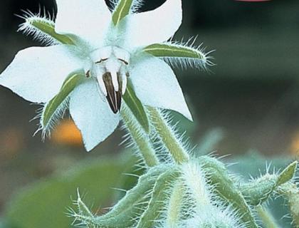 Hjulkrone hvid. Fin i salat og pynt spiselige blomster