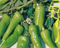 Chili, Padrone, sød peber fra Nordspanien, Tapas