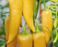 Snackpeber spids, bull horn, sød, gul frugt