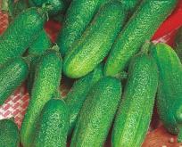 Agurk Drue, til pickles eller asier, Rhensk druv