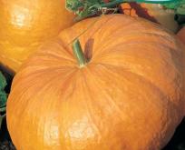 Græskar Kæmpe Melon stor rund rankende