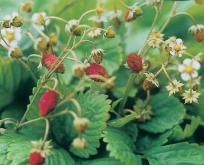 Jordbær Månedsjordbær frø