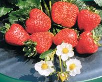 Jordbær Sarian F:1 giver bær hele sommeren