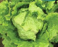 Salat Iceberg issalat båndfrø