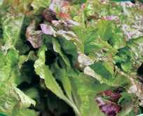 Salat Pluksalat Amerikansk rødbrun