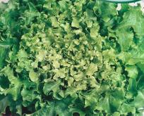 Salat Pluksalat Green Salad Bowl grøn