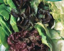 Salat Mix 5 slags. Økologisk frø. Blanding typer og sorter