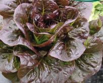 Salat, romersalat, Ovired miniromersalat