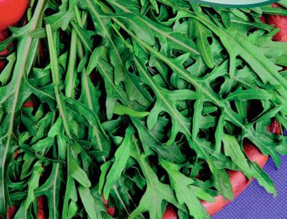 Salat Rucola vild, nem og hurtigvoksende