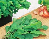 Salat Rucola mild høstes spæd