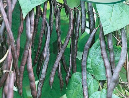 Bønne Stangbønne Blauhilde lilla bælge