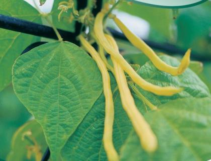 Bønne Stangbønne/voksbønne Neckargold gul