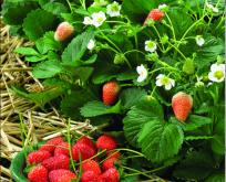 Jordbær, Delician F1, Frø