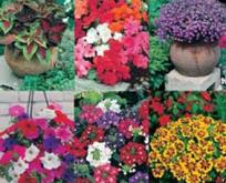 Potteplante blomster mix. 6 slags, udendørs