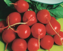 Radis Cherry Belle rund rød sommerradis
