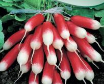 Radis Pernot aflang rød med hvid spids, båndfrø