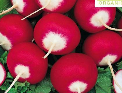 Radis Økologisk frø Round Red Small White