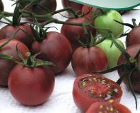 Tomat, Black Cherry