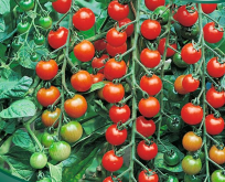 Tomat Cherry Sweet 100, F1 sød rigtbærende