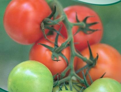 Tomat Klasetomat, Sparta F1, mange frugter