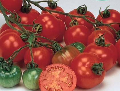 Tomat Driv/friland Bloody Butcher tidligste