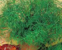 Dild, økologiske frø