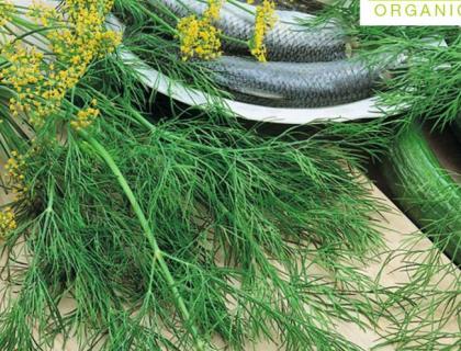 Dild Økologisk frø Sari bladdild