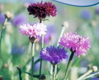 Kornblomst blanding af blå og rødrosa farver. Centaurea cya.