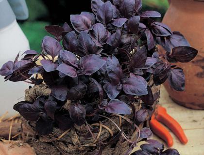 Basilikum Rødbladet purpurfarvede blade