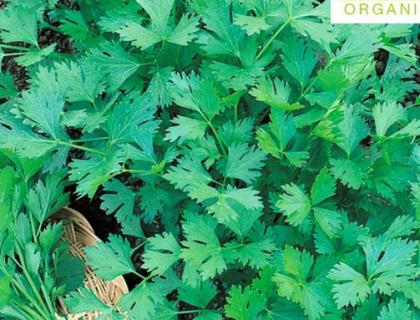 Persille Glat økologisk frø Gigante d'Italia