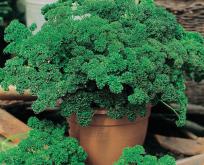 Persille krus, moskrul, økologiske frø