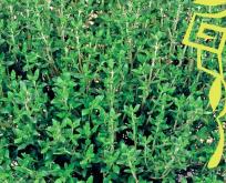 Timian, kryddertimian Økologisk