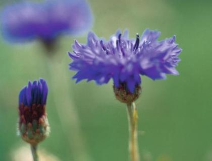 Centaurea cyanus, Kornblomst, Blåklint, Kajsar Wilhelm