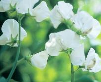 Lathyrus Hvid Ærteblomst, Royal White
