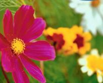 Blanding Snitblomster frø, høje