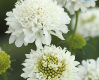 Scabiosa hvid – Snowmaiden