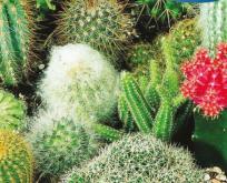 Kaktusmix frø