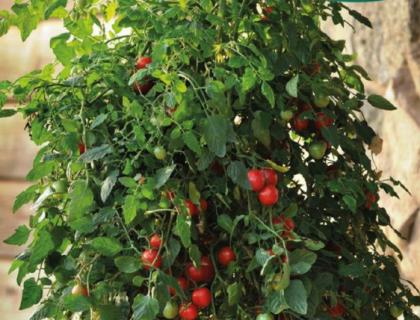 Tomat, Micro cherry, kirsebærtomat