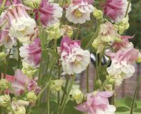 Akeleje Petticoat pink/hvid 60 cm
