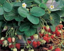Jordbær, Sweet Fresca