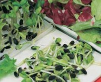 Solsikkefrø 20g,  bruges til microgrønt spirer.