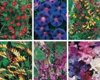Mix 6 Klatre planter, Pragtsnerle, Tragtsnerle, Skønhedsranke, Klatrerose, hyacintbønne, ærteblomst