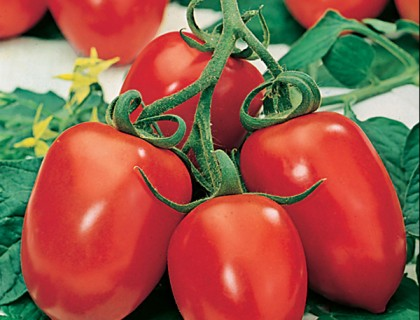 Tomat blomme Roma VF