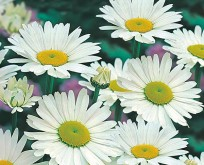 Mark marguerit, Chrysanthem Leucanthem Shasta Daisy, alaska