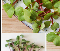 Microgrønt af radis, økologisk