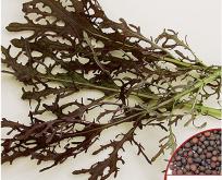 Salat, Rucola Dragon, rød
