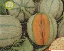 Melon, honningmelon, Økologisk frø, Artemis F1 sød